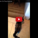 Double Amputee Cat Runs Down Stairs Like A Champ