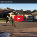 Have You Ever Wanted To See Two Kangaroos Box…Here You Go