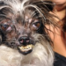 And The NEW Winner Of The Ugliest Dog Contest Is….