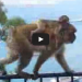 This Monkey Thief Wanted Some Ice Cream, Wait Til You See How He Got It!