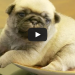 When You See This Cute Little Pug On A Plate, You Will Just Want to Eat Him Up!