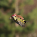 Weasel Catches A Ride With Woodpecker (Yes, It's Real)