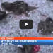 [VIDEO] Dozens Of Birds Fall From The Sky, Dead And Split In Half Before Impact
