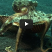 WATCH: Why This Octopus Is Stealing Seashells Is Fascinating!