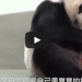 This Panda Shocked Zookeepers When She Was Given Her Baby, What Happened Was Amazing!