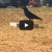 Crow Vs. Pizza Box – What Is This Bird Trying To Do?
