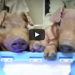 Scientists clone glow in the dark pigs using jellyfish DNA