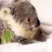 This Baby Koala Doesn't Even Look Real, But Wait Until You See What She Does For The Camera