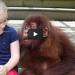 Gorilla And Girl Reunite After Many Years, Their Reaction Is Breathtakingly Beautiful