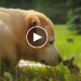 This Yellow Lab Finds A Baby Bunny In The Back Yard, Her Reaction Is Priceless!