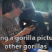 He Showed A Gorilla Photos Of Other Gorillas, Watch The Animal's Reaction!