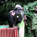 Chimpanzee Was Freed Into The Wild, What She Did Before Her Release Will Warm Your Heart