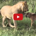 Lion Saves Baby Calf From Another Lion Attack