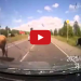 DASH CAM: Car Hits 2 Cows Having Sex In The Middle Of The Road