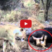 Lion Cub Gets Stuck In Buffalo's Butt – VIDEO