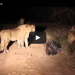 A Porcupine Versus 17 Lions, Who Do You Think Will Win?(VIDEO)