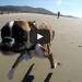 Two-legged boxer dogs first beach trip is fun in the sun