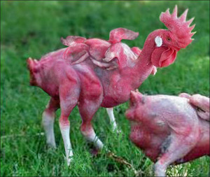 mutant-chicken-final-copy (1)