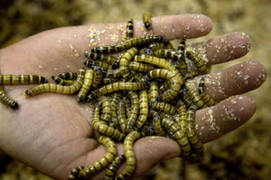 To match Reuters Life! FOOD-INSECTS/