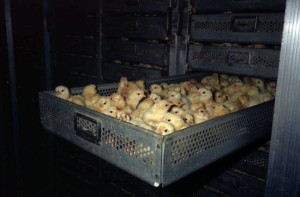 factory-chicks
