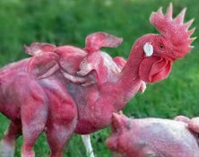 Kfc headless chicken farm - photo#12