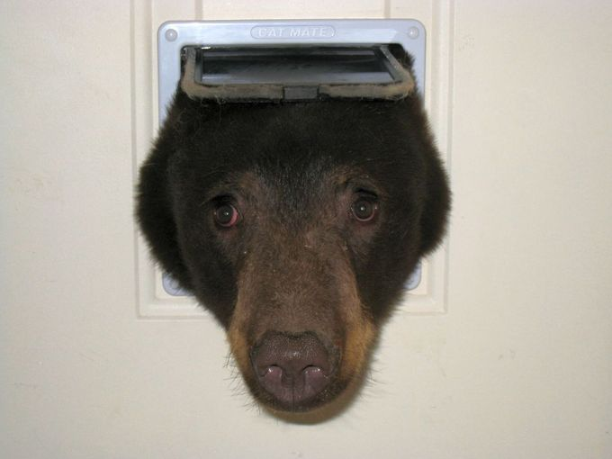 635751737992240252-Bear-Head-in-Cat-Door---8-14-2015