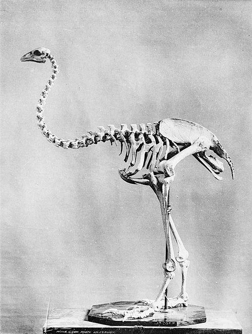 Megalapteryx_didinus_skeleton_1897