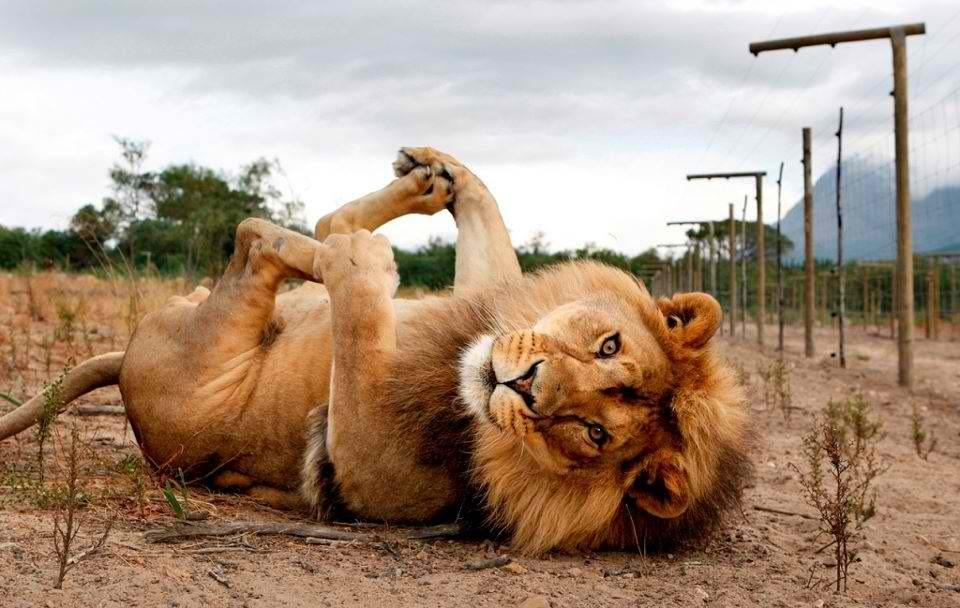 Photo-of-the-Day-Lion-Poses-for-the-Camera