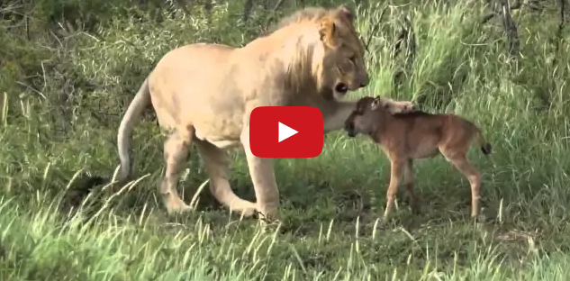 lion saves baby calf