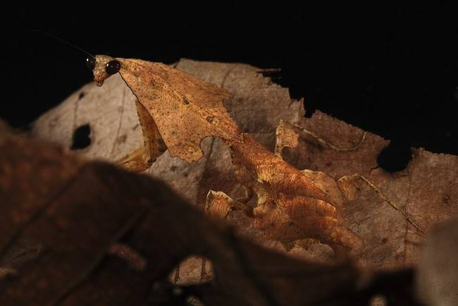 The Leaf Litter Mantid