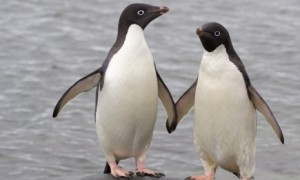 a-pair-of-adelie-penguins-chinese-zookeepers-have-allowed-two-gay-penguins-to-adopt-a-chick-from-a