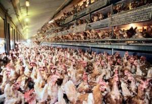 chicken-47642845903