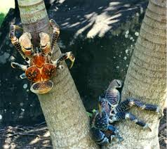 coconut crabs climbing tree
