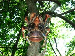 huuuuuuuge coconut crab