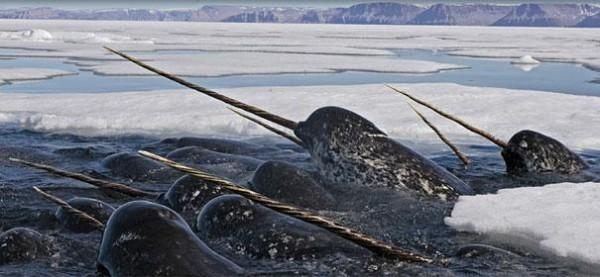 narwhal-600x277_600x277