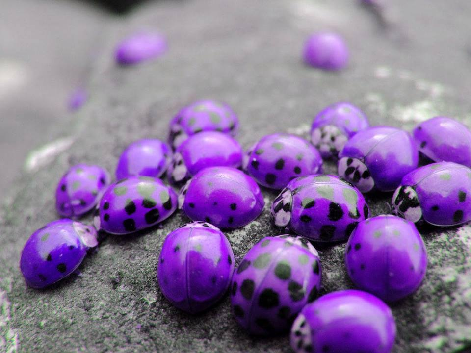purple-ladybugs (1)