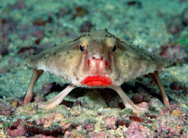 redlippedBatfish-600x441_600x441