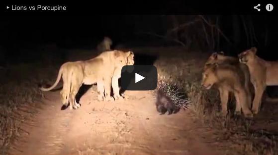 A Porcupine Versus 17 Lions