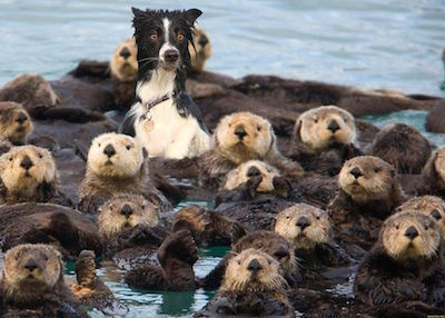 sea-otter-dog